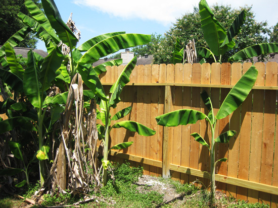 Cedar picket privacy fence; image © Kelly Smith