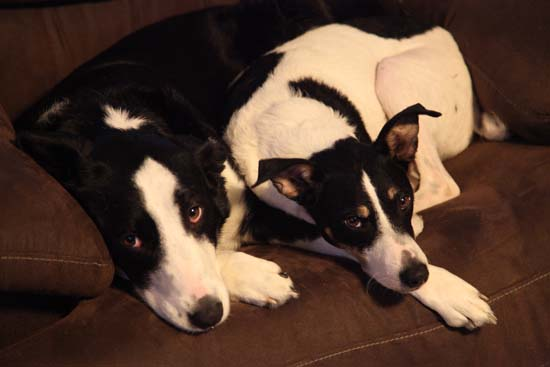 Two dogs on a couch; photo courtesy Kelly Smith