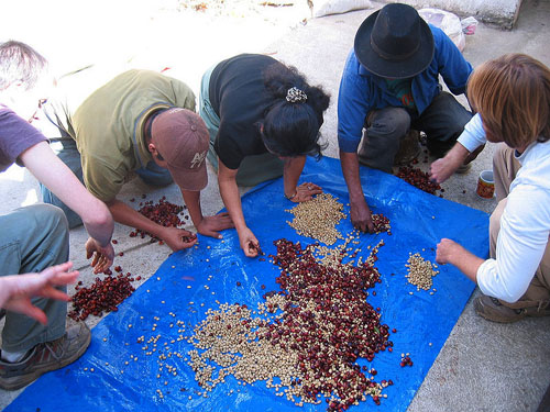 Sorting coffee beans at a Fair Trade farm; photo courtesy Quadell