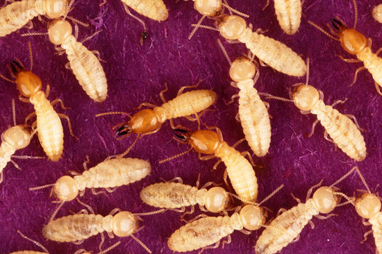 Formosan termites swarm; photo courtesy United States Department of Agriculture