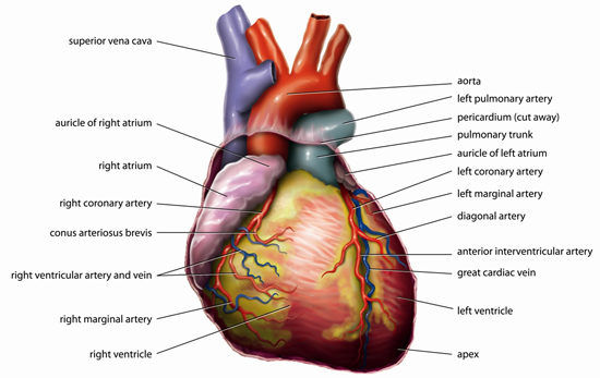 Anatomy of the human heart; photo courtesy Anatomy Tvanbr