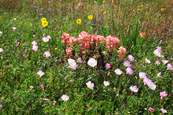 A field of Indian paintbrushes; photo courtesy Kelly Smith