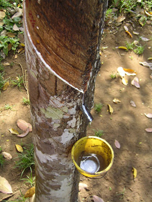 Latex production by milking a rubber tree; photo courtesy Jan-Pieter Nap