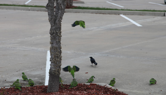 Monk Parakeets in Texas; photo © Kelly Smith