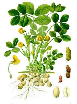 A peanut plant; image courtesy Koehler Images