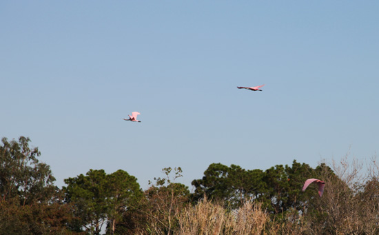 Roseate Spoonbills in flight; photo © Kelly Smith