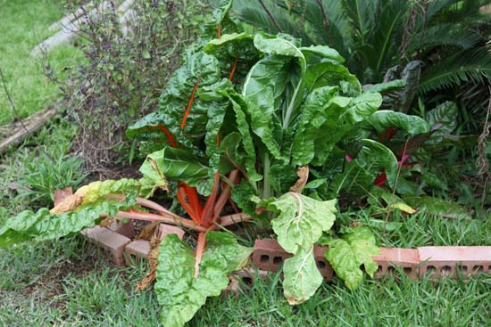 Swiss chard is a beet plant; photo courtesy Kelly Smith