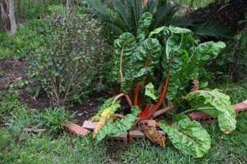 Swiss chard is packed with nutrition; photo courtesy Kelly Smith