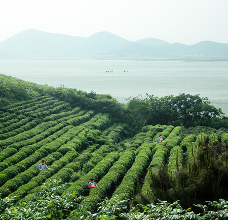 Tea cultivation in China; photo courtesy Indexyu